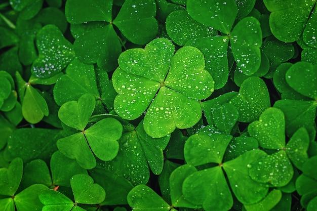 El trébol de cuatro hojas se destaca sobre las hojas verdes