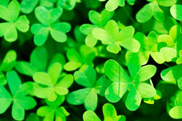 Los tréboles crecientes naturales verdes del trébol salen del fondo. símbolo de vacaciones del día de san patricio