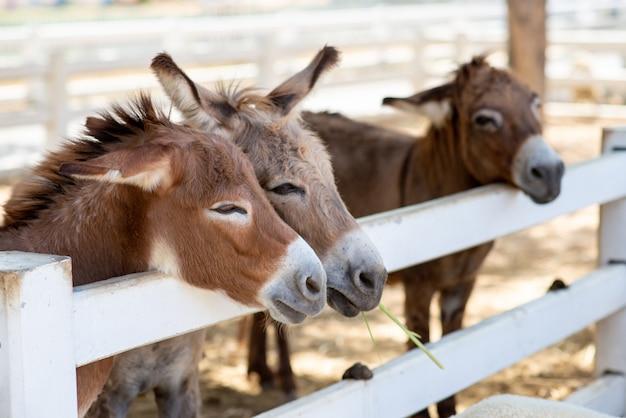 Tres caballos o burros en la granja. cabeza de par marrón caballo o burro en el puesto. amante del caballo o burro y tercero.