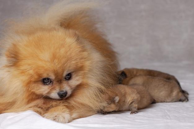 Tres cachorros recién nacidos se encuentran junto a un pomerania naranja esponjoso