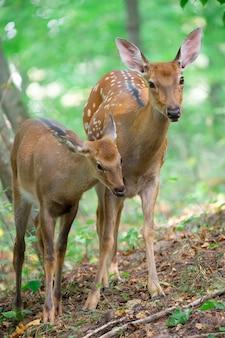 Tres ciervos alerta en una pendiente en el bosque. macho hembra y ciervo pequeño.