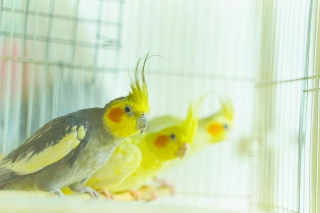 Tres corrales de loros se sientan y se balancean en una jaula