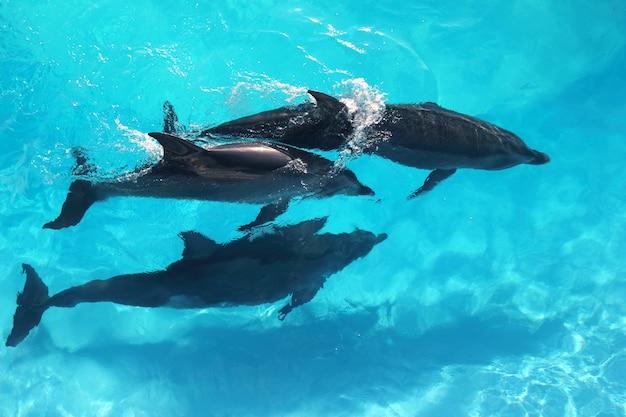 Tres delfines vista de ángulo alto agua turquesa