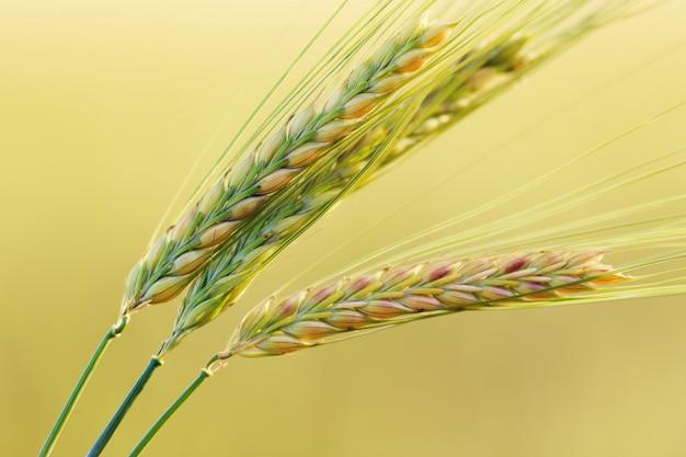 Tres espigas de trigo de cerca en amarillo borrosa llano. seleccionadas espigas de trigo.