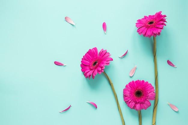 Tres flores de gerbera rosa con pétalos.