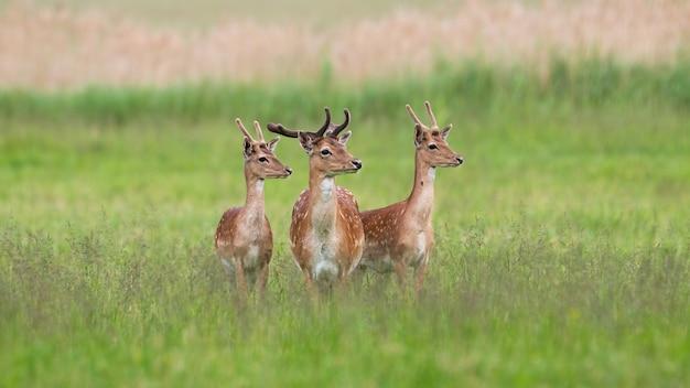 Tres majestuosos ciervos en barbecho que se colocan en prado en verano.