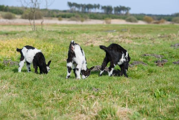 Tres niños de cabra que pastan en el prado, foto cercana gran angular con luz de fondo sol.
