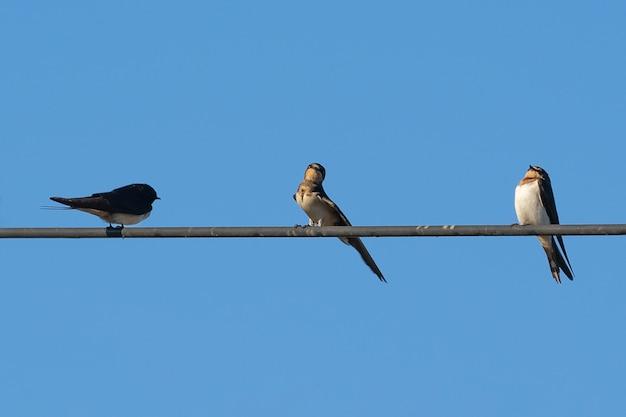 Tres pájaros en cable eléctrico con fondo de cielo azul
