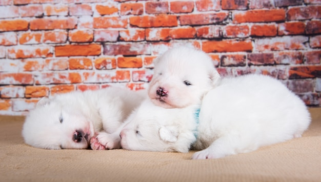 Tres pequeños cachorros de samoyedo blanco lindo de dos semanas de edad perros