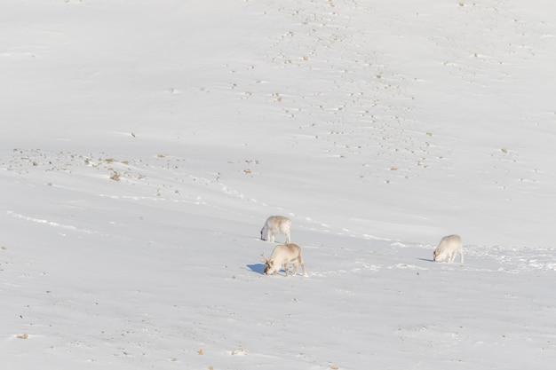 Tres renos salvajes de svalbard, rangifer tarandus platyrhynchus, buscando comida en la nieve en la tundra en svalbard, noruega.