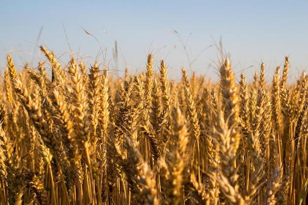 Trigo y espiga de trigo bajo un cielo azul