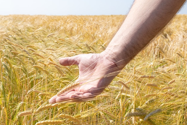 Trigo en las manos. espigas doradas de trigo en la mano de un granjero en un campo de verano. concepto de agricultura, cereales y cosecha.