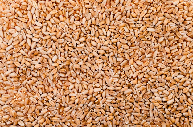 Trigo (primer plano) - primer plano de trigo maduro después de la cosecha