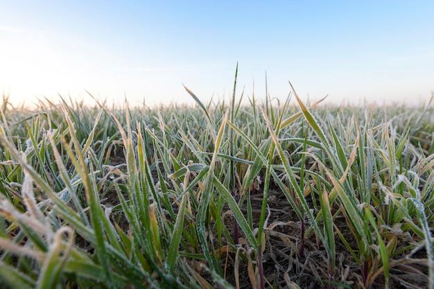 Trigo verde, escarcha: primer plano fotografiado de trigo joven de planta verde en la mañana después de una helada, una pequeña profundidad de campo