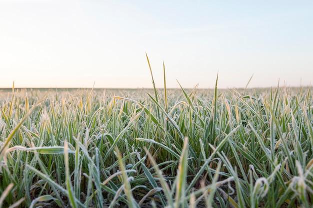 Trigo verde, primer plano - primer plano fotografiado de trigo verde joven en escarcha, primer plano