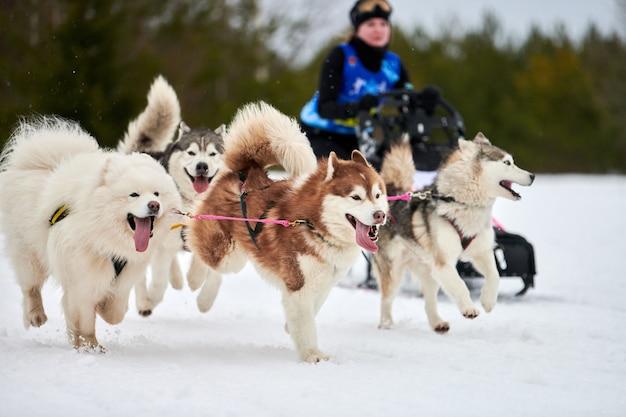 Trineo de perros mushing en invierno