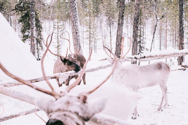 Trineo de renos, en invierno