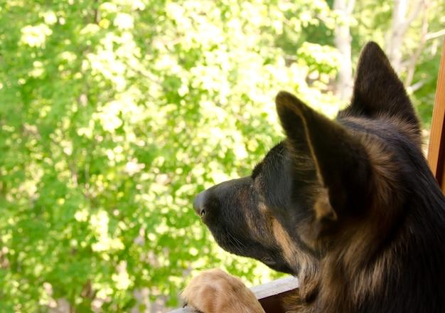 Triste pastor alemán mirando por la ventana y soñando con salir a caminar o esperar a su dueño