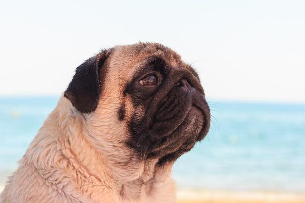 Triste perro pug se sienta en la playa y mira al mar.