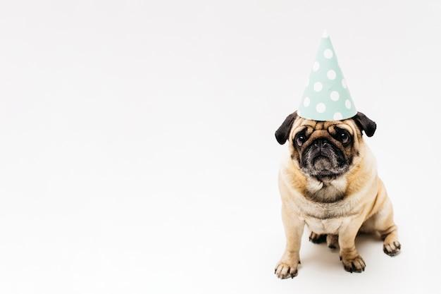 Triste pug compacto lindo en sombrero de fiesta
