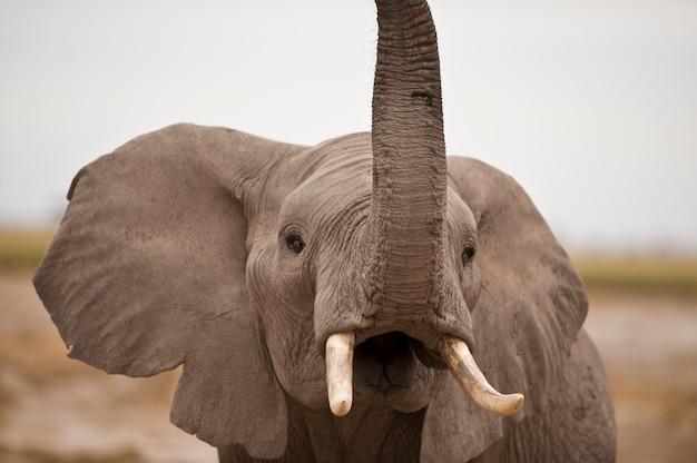 Trompeta de elefante