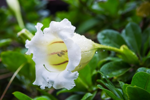 Las trompetas de los angeles blancas florecen en el jardín