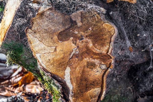 Tronco de árbol aserrado en sección
