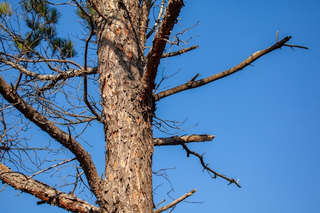 Tronco de pino contra el cielo azul, flora