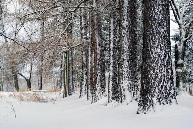 Los troncos de alerces cubiertos de nieve. paisaje invernal.
