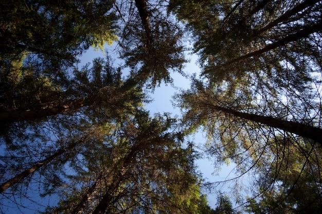 Los troncos de los árboles en el bosque de abetos. vista de abajo hacia arriba. día soleado de otoño. abstracción natural de ramas