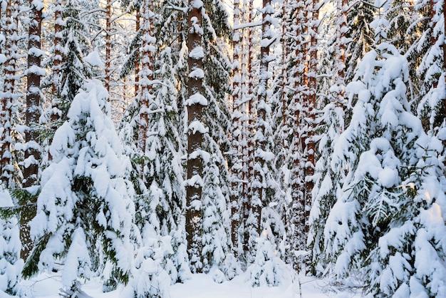 Troncos de nieve de árboles. paisaje de invierno rusia