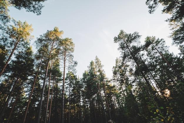 Troncos rectos de pinos altos bajo cielo abierto. coronas de coníferas gigantes en cielo despejado. bosque de coníferas atmosférico oscuro. textura de la bodega. increíble paisaje natural.