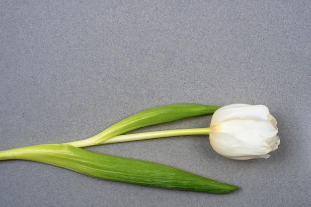 Un tulipán blanco descansa sobre papel gris. vista desde arriba