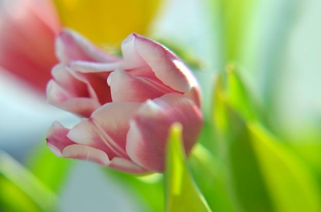El tulipán colorido florece el fondo, flores borrosas.