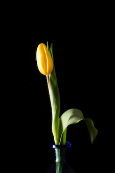Tulipán floreciente en florero