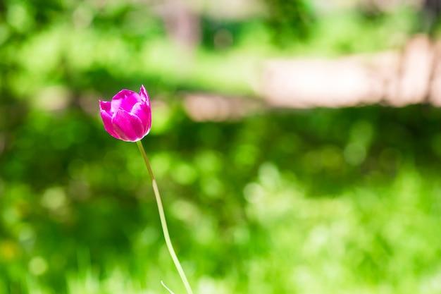 Tulipán floreciente rosado fresco en jardín de primavera