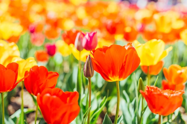 Tulipán. hermoso ramo de tulipanes. tulipanes de colores