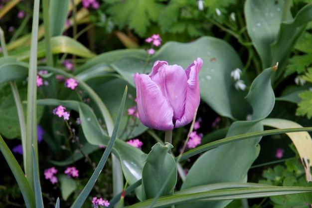 Un tulipán lila que emerge entre las hojas verdes
