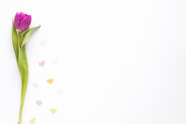 Tulipán morado con pequeños corazones en mesa blanca