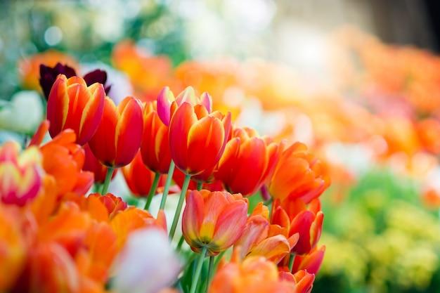 Tulipán en primavera con enfoque suave.
