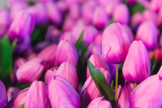 El tulipán púrpura florece el fondo para casarse, amor, tarjeta del día de san valentín, ramo, contexto