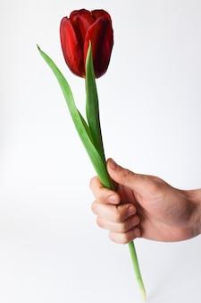 Tulipán rojo en la mano de un hombre sobre un fondo blanco.