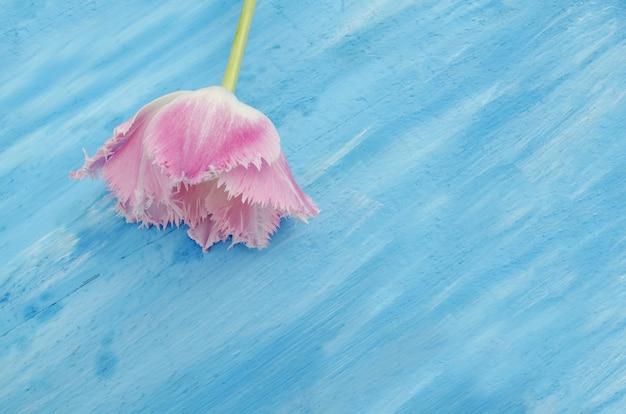 Tulipán rosa con flecos sobre fondo de mesa de madera azul