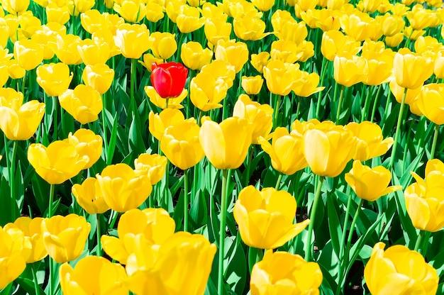 Tulipanes amarillos cerca de fondo