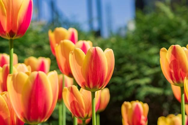 Tulipanes amarillos y naranjas en flor brillante