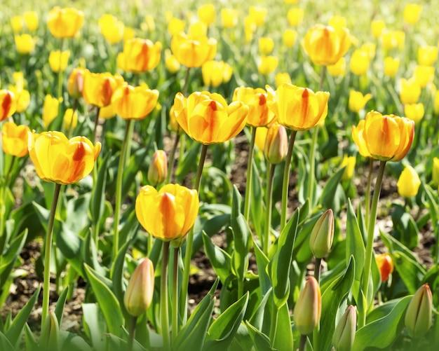 Tulipanes amarillos rojos con hermosa luz del sol. flores frescas de primavera al aire libre. fondo floral enfoque selectivo.