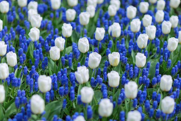 Tulipanes blancos y jacintos de uva azules (muscari armeniacum) en un parque.