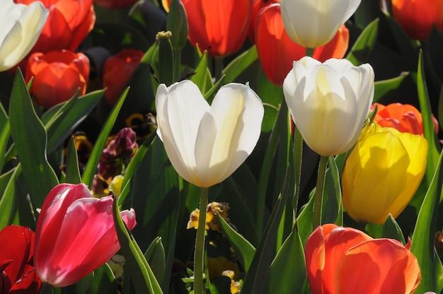 Tulipanes blancos entre tulipanes rojos y amarillos