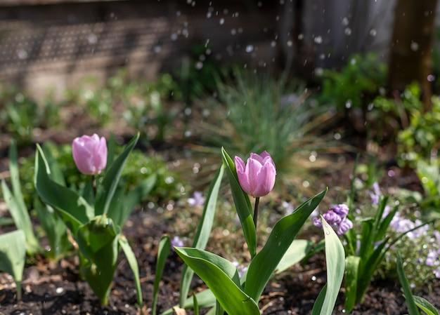 Tulipanes de color lila en un macizo de flores con gotas de agua en un día soleado