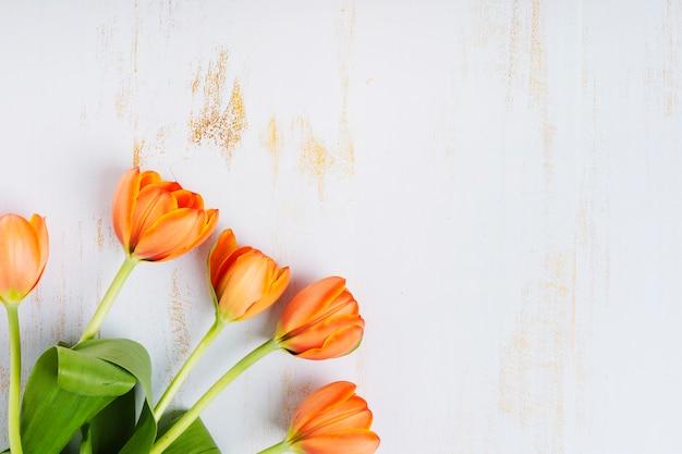 Un tulipanes de color naranja sobre un viejo fondo blanco